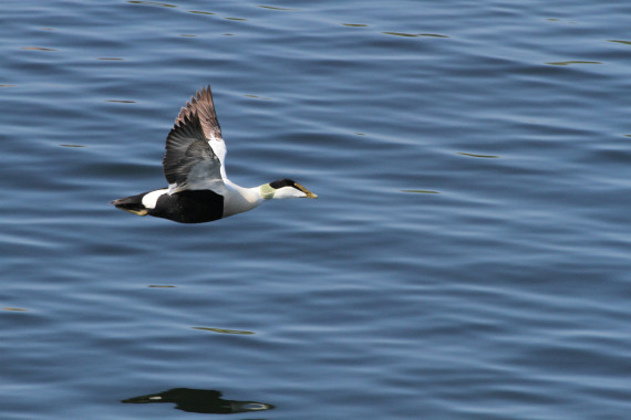 Eider duck safaris to Bengtskär lighthouse
